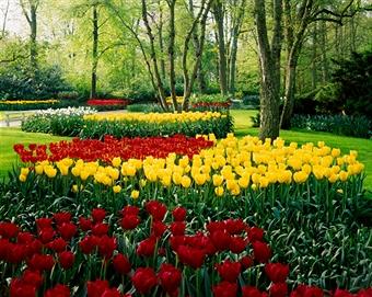 многообразие тюльпанов