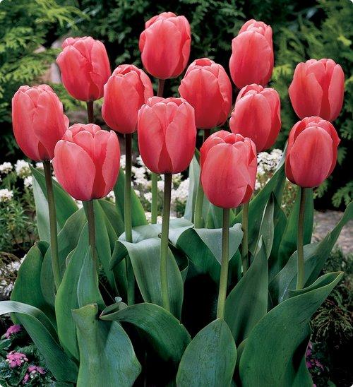 екатерина великая тюльпан фото