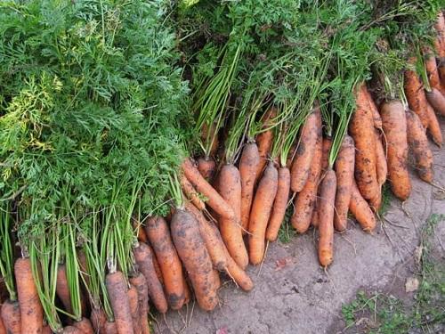 уборка моркови