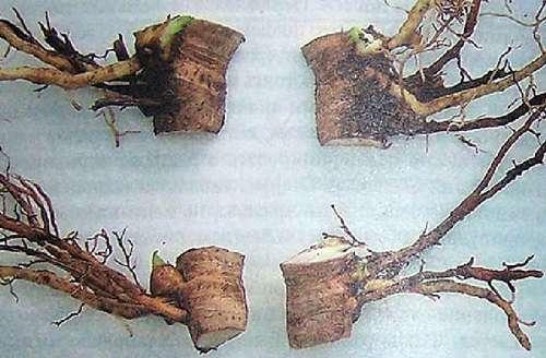 размножение флоксов