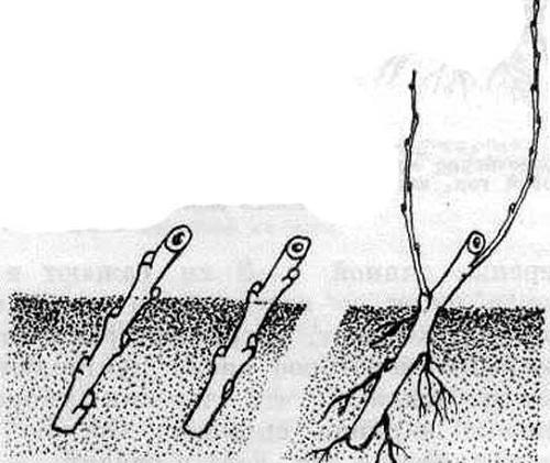 размножение крыжовника