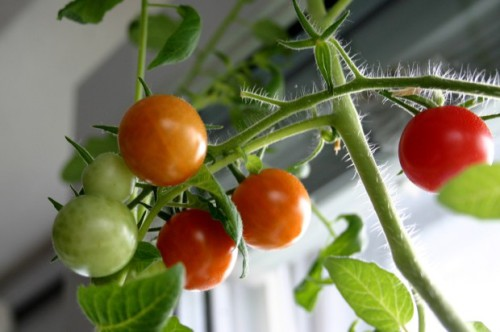 6-Vegetables-to-Grow-Indoors-1