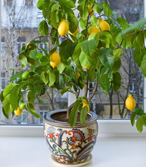 Lemon-Tree-FGT-crop