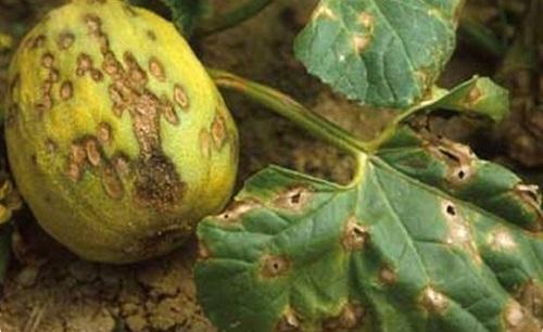 болезни тыквы