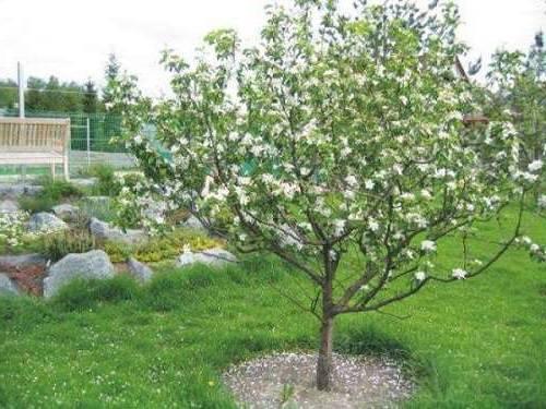 уход за яблоней