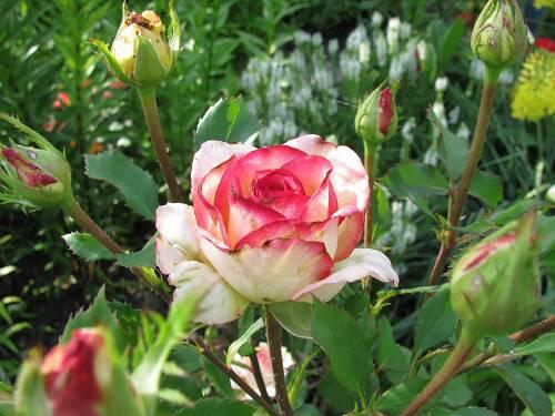 розы болезни и вредители