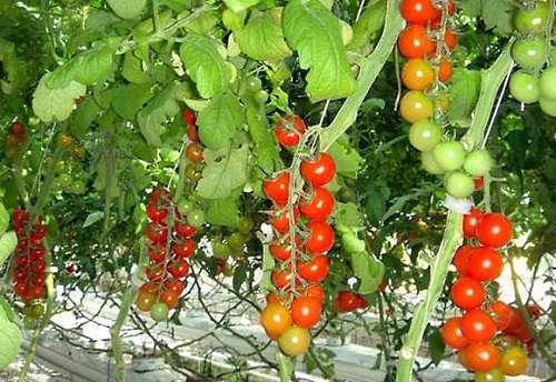 выращивание помидоров на подоконнике видео