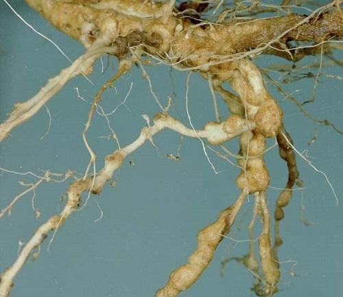вредители огурцов