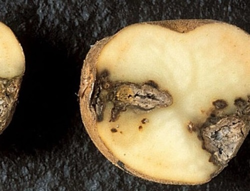 болезни картофеля